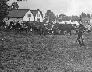 1910 bisley manoeuvres cattle grazing
